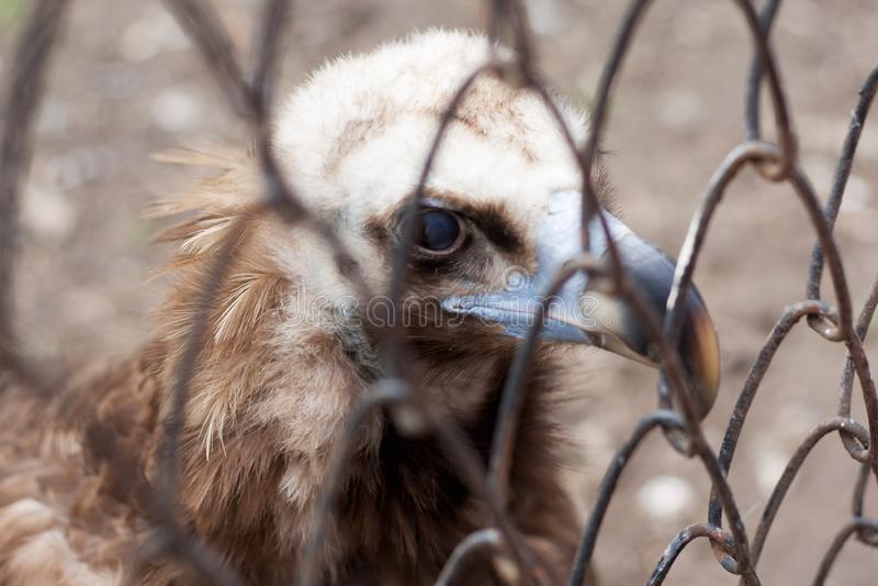 Eagle at the zoo royalty free stock photos
