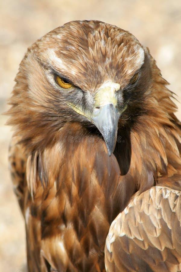 Eagled-eyed fotografía de archivo libre de regalías