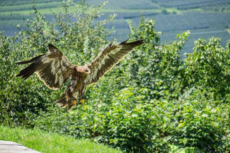Eagleflying imagem de stock royalty free