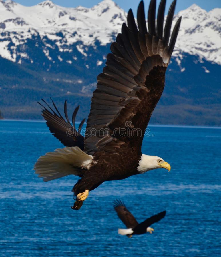 2 Eagles в полете стоковые изображения rf