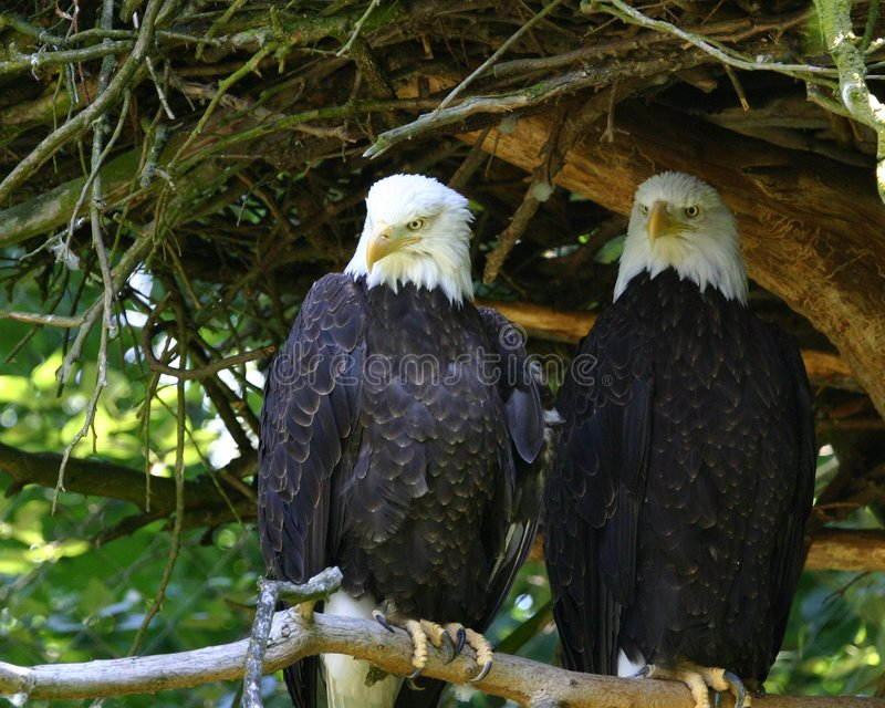 Download Eagles Stock Photography - Image: 1037522