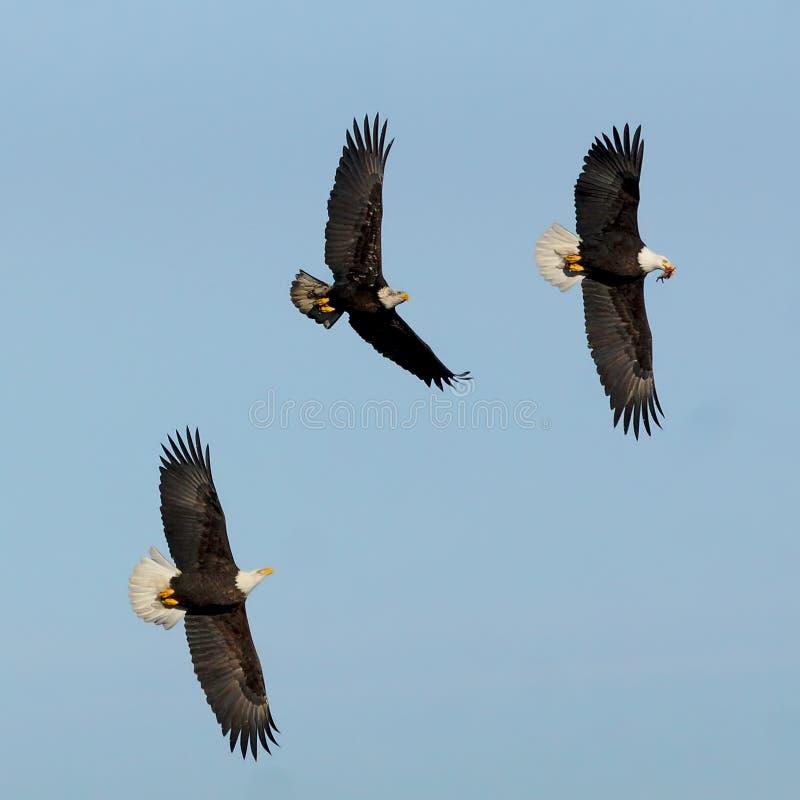 Eagles stock image