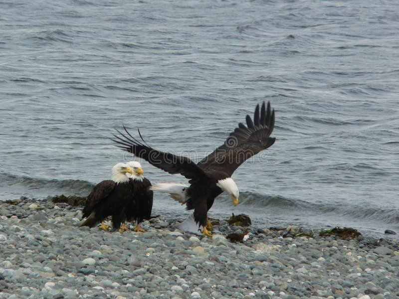 Eagles on the beach stock image
