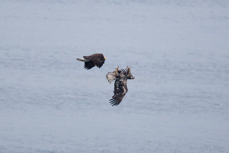Eagles calvo fotografia de stock royalty free