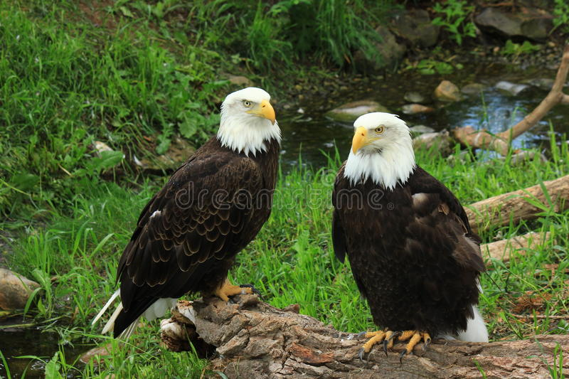 Eagles calvo foto de stock