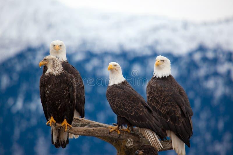 Eagles calvo americano fotografia de stock