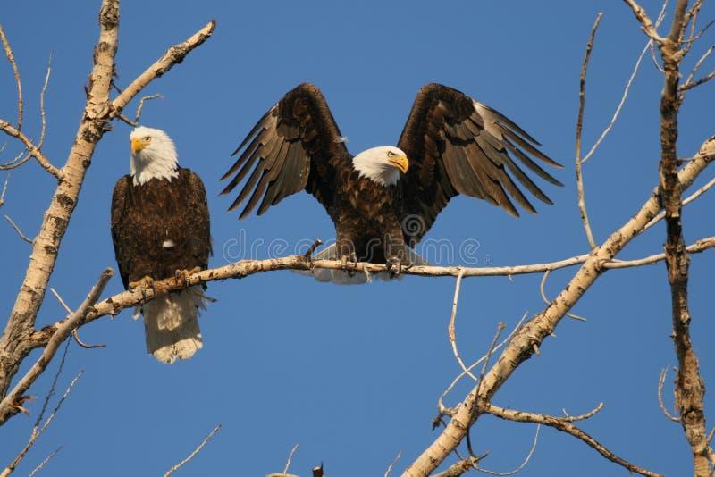 Eagles calvo descansa na árvore