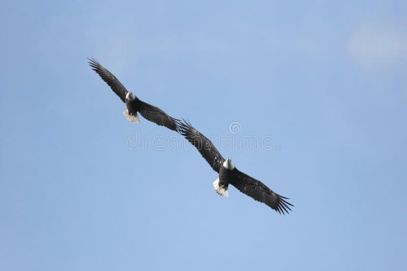 Eagles calvo majestuoso imagen de archivo libre de regalías