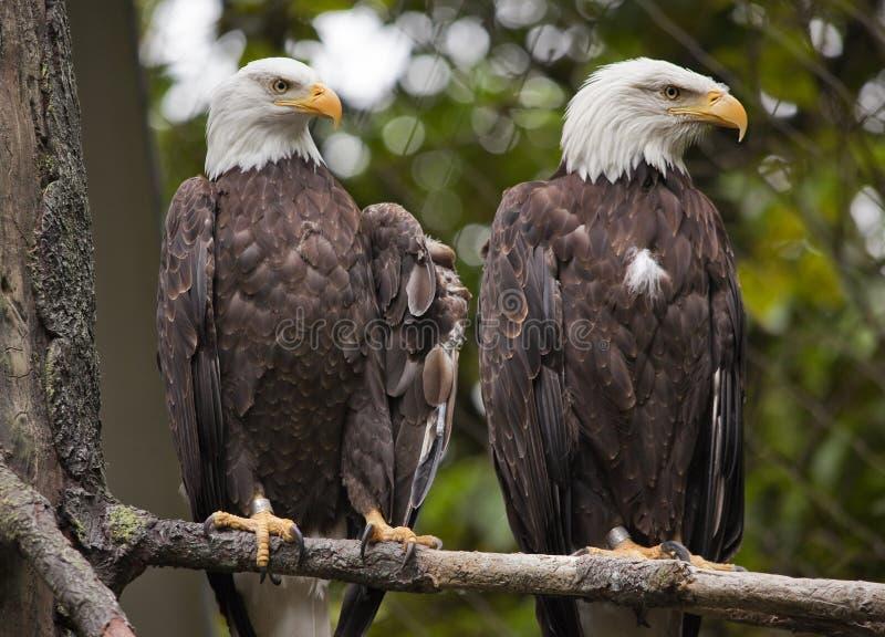 Eagles calvo principal blanco en el árbol Washington fotos de archivo