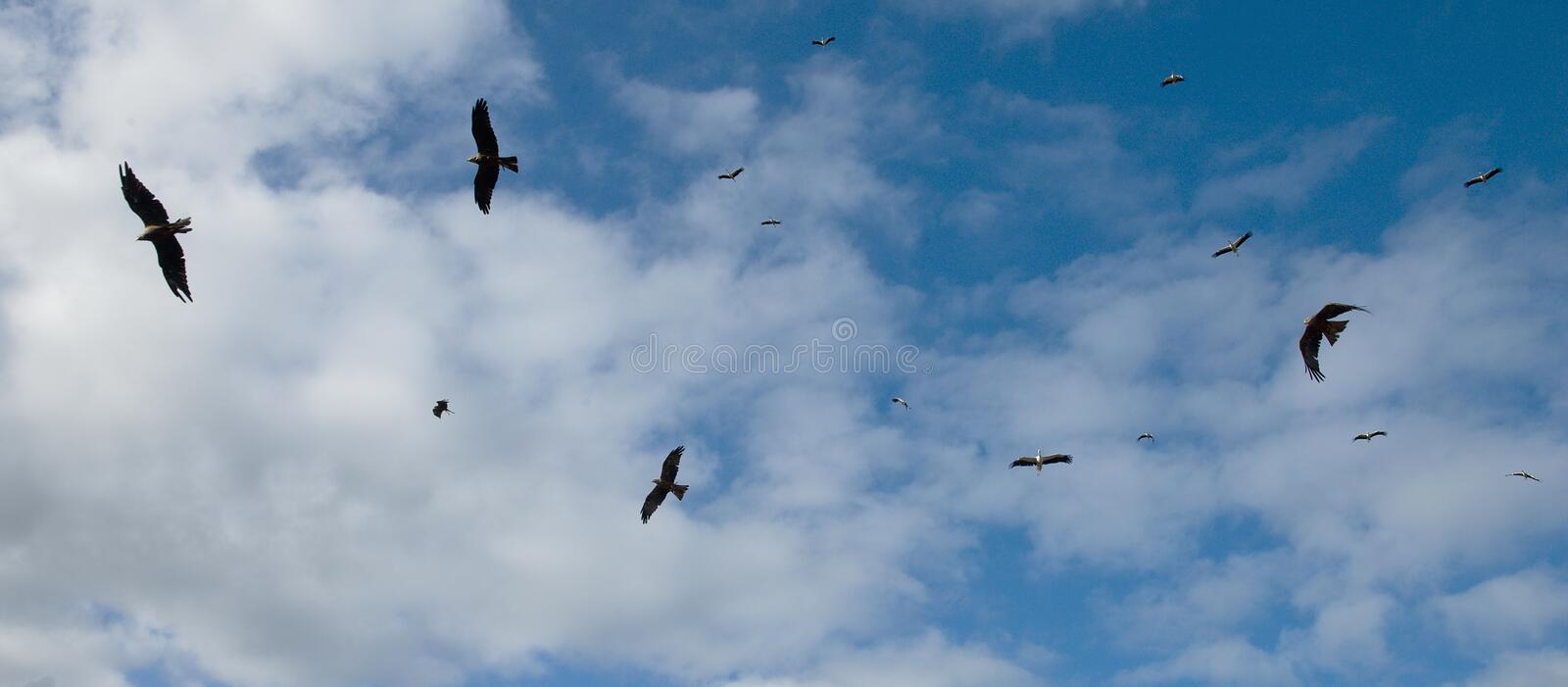 The eagles are chasing a flock of storks stock photography
