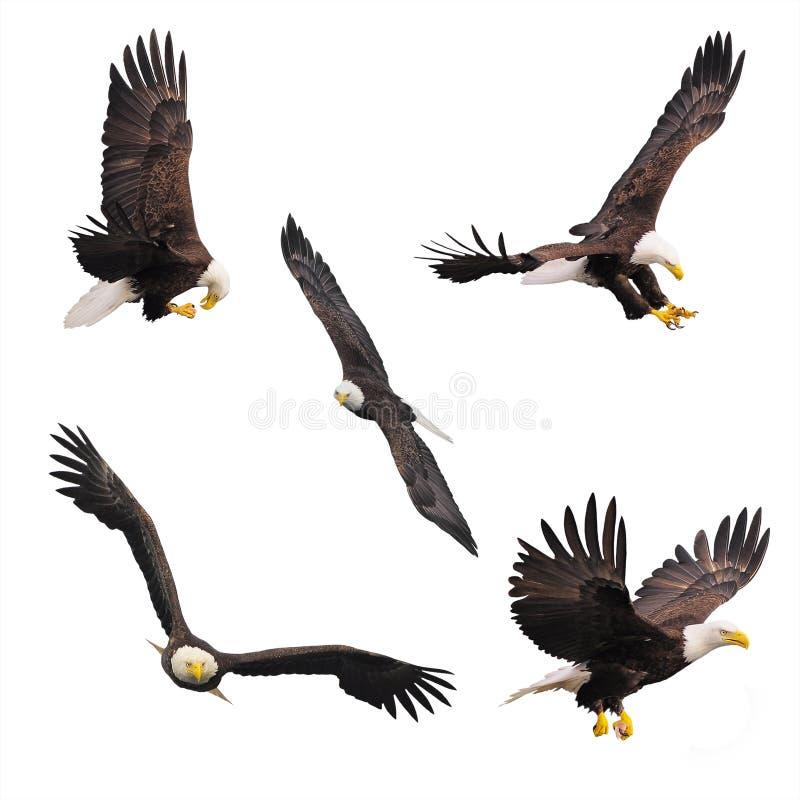 Eagles chauve image stock