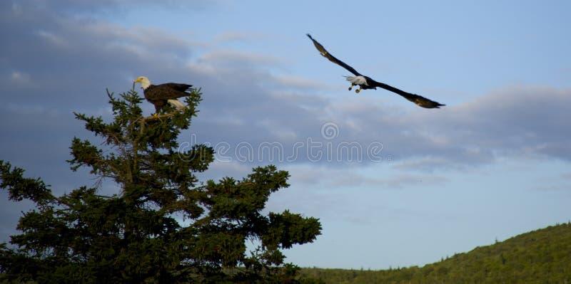 Eagles chauve photographie stock