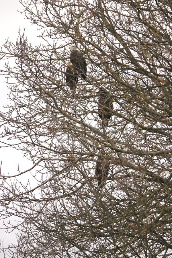 Eagles chauve américain dans la zone protégée photographie stock libre de droits