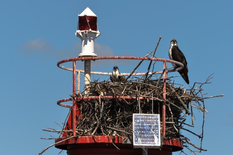 Eagles chauve dans le nid, Gananoque, Ontario, Canada photographie stock libre de droits