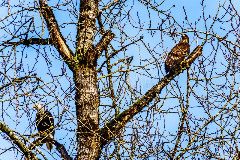 Eagles chauve mûr et juvénile s'asseyant dans un arbre observant pour engendrer des saumons dans Stave River photos libres de droits