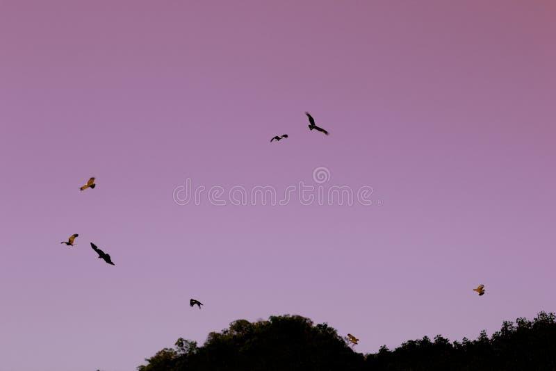 Eagles die in lichtrose ochtendhemel vliegen De Achtergrond van Abstarct stock afbeelding