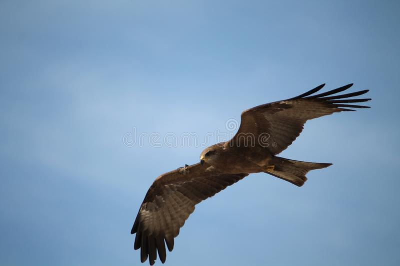 Eagles royalty free stock image