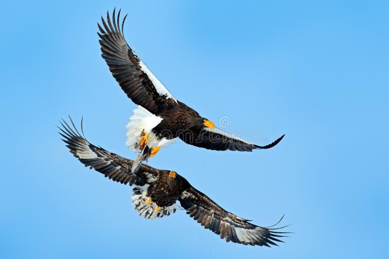 Eagles fight on the blue sky. Wildlife action behavior scene from nature. Beautiful Steller`s sea eagles, Haliaeetus pelagicus, royalty free stock photo