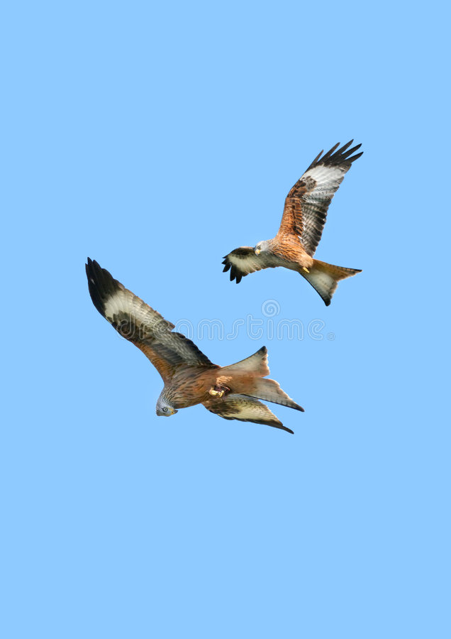 Eagles in Flight. Two red kite eagles flying together on a blue sky day royalty free stock images