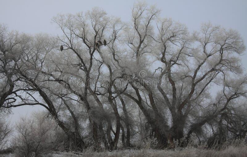 Eagles in Frosty Trees royalty-vrije stock afbeeldingen