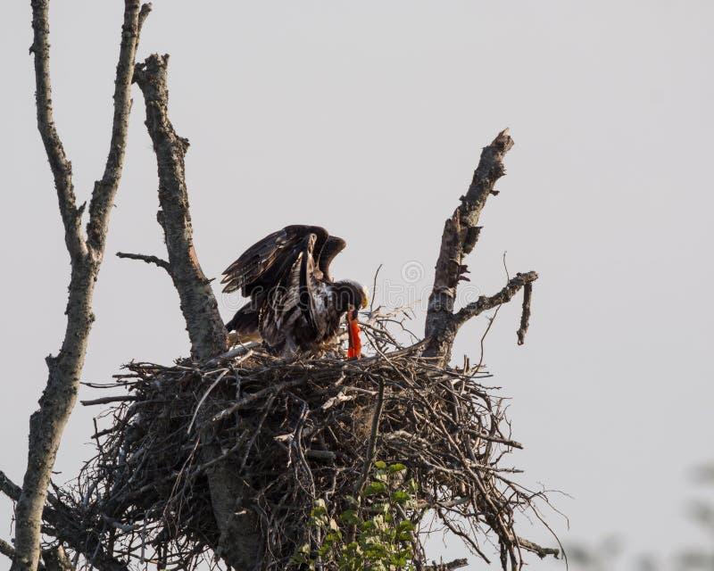 Eagles-Nest stockbild
