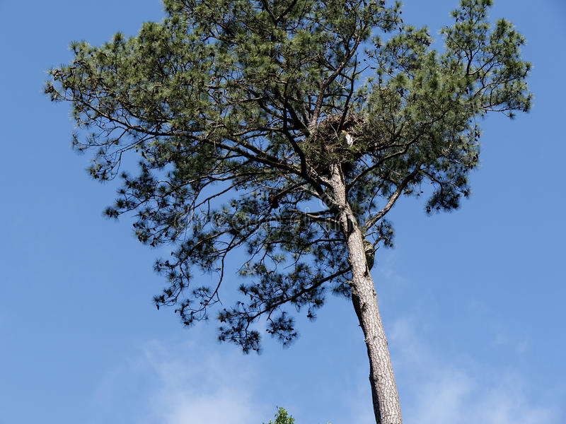 Eagles nest in Pine tree in Virginia USA stock image