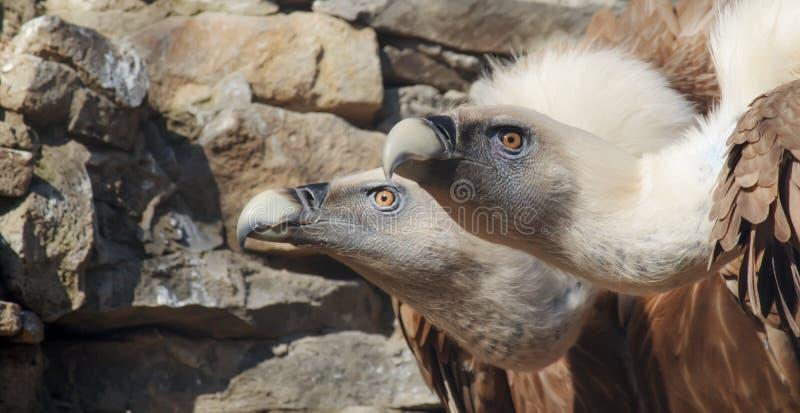 Eagles sępów rodzinny portret na kamiennym tle Zakończenie Unrecognizable miejsce Selekcyjna ostrość obraz stock