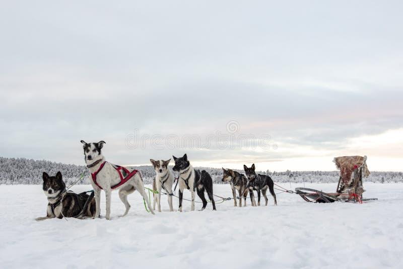 Eam de seis cães de puxar trenós que esperam para correr e puxar um trenó imagem de stock royalty free