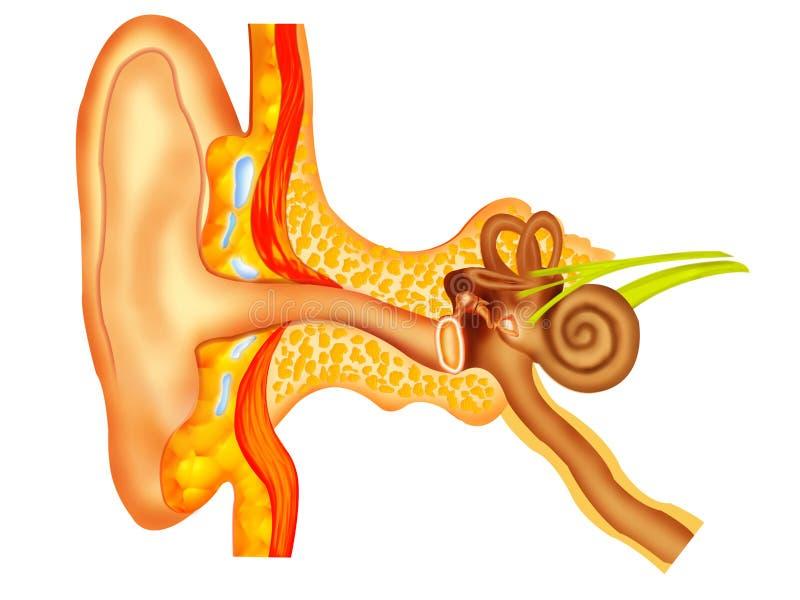 Download Ear stock illustration. Illustration of cochlea, anatomy - 7804221