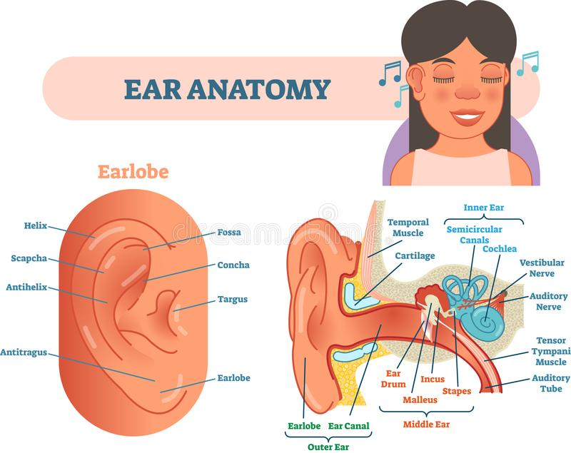 Ear anatomy medical vector illustration with outer, middle and inner ear cross section diagrams. royalty free illustration