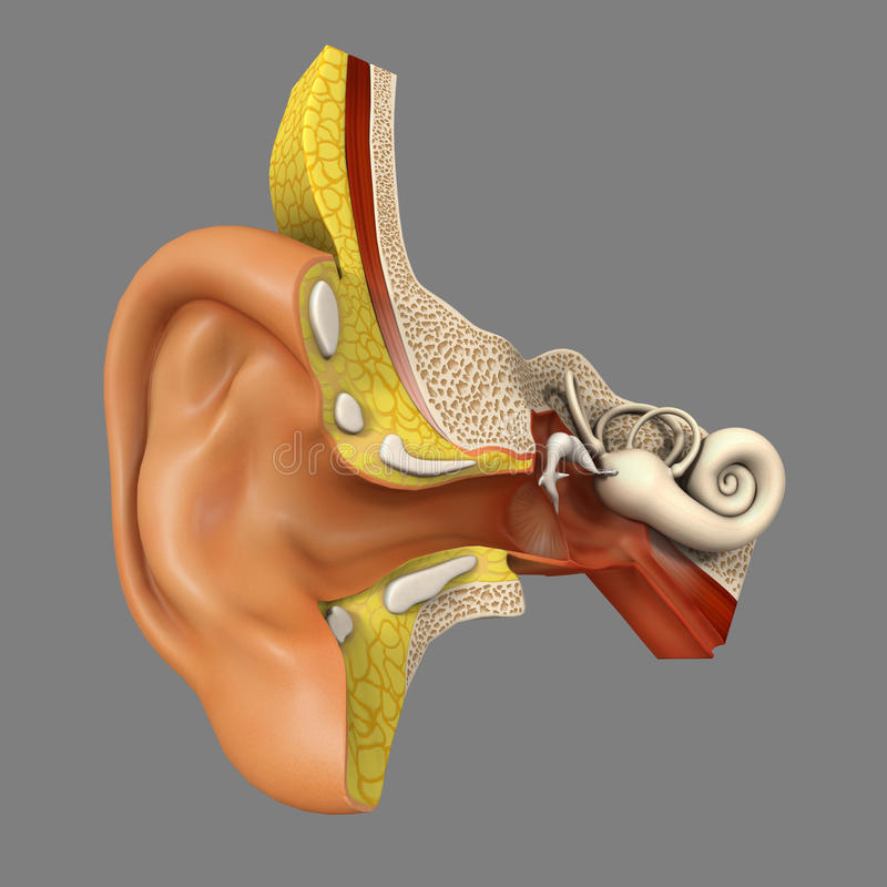 Ear anatomy stock illustration. Illustration of science - 44728926