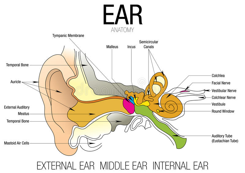 Ear Anatomy With Parts Name Stock Vector Illustration Of Anatomy