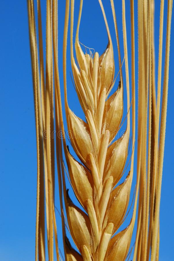 Ear of barley royalty free stock photography