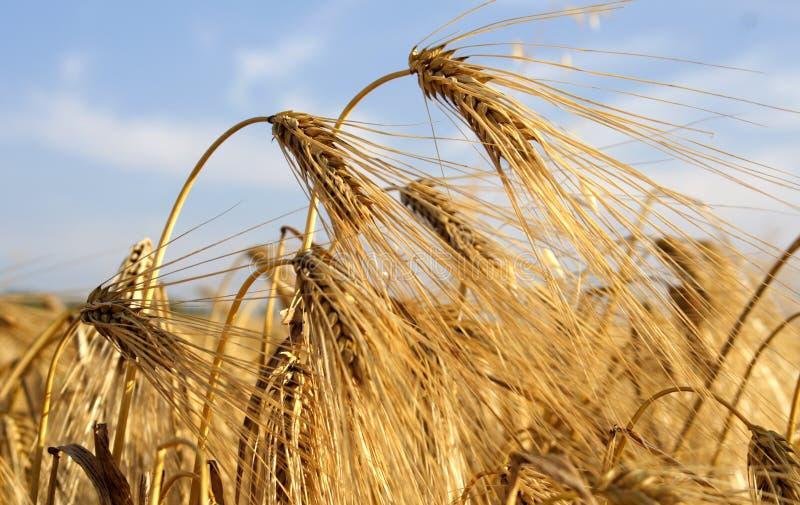 Ear of barley royalty free stock photography