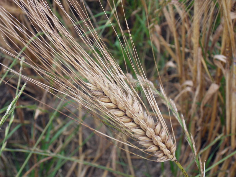 Ear of barley close-up. Détails of an ear of barley before imminent harvest stock photo