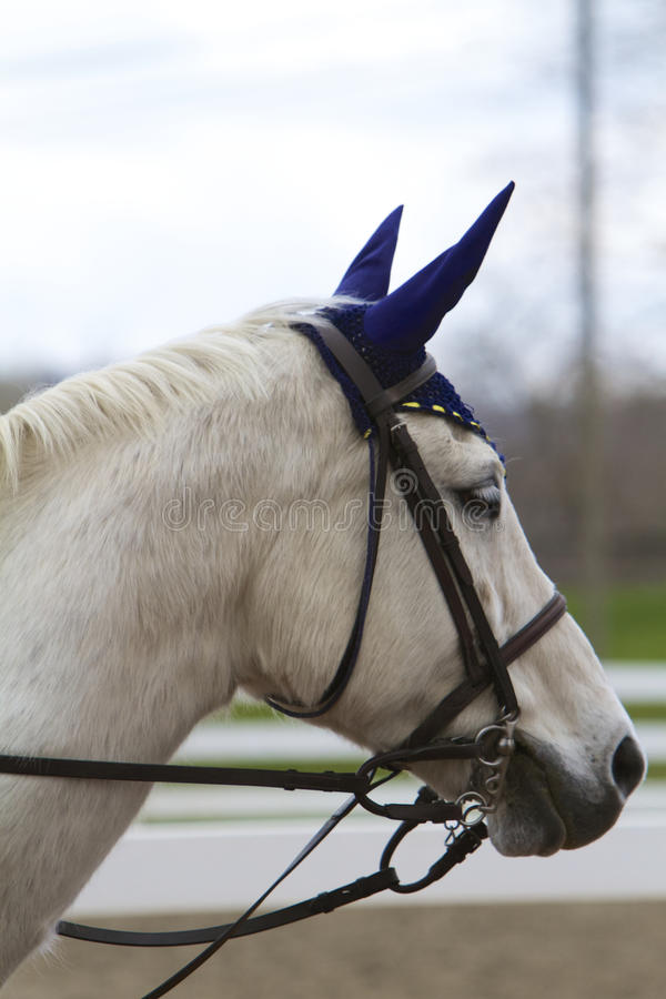 Ear Bonnet. Profile of white horse in English bridle and navy ear bonnet stock photo