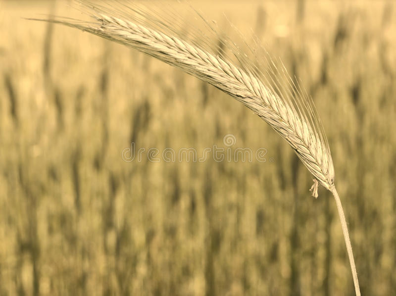 Download Ear of corn. stock image. Image of wheat, nature, grain - 19779651