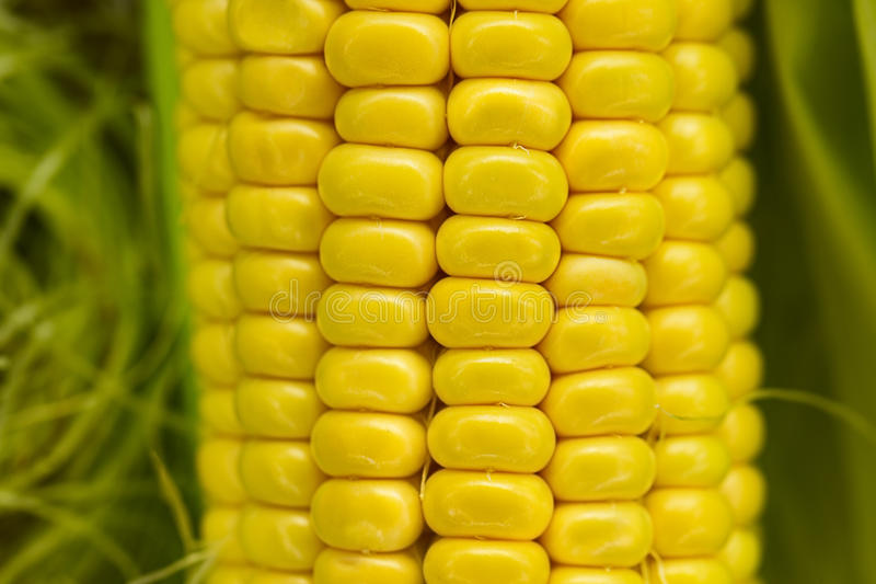 Download Ear of corn stock photo. Image of crop, gold, cereal - 25783570