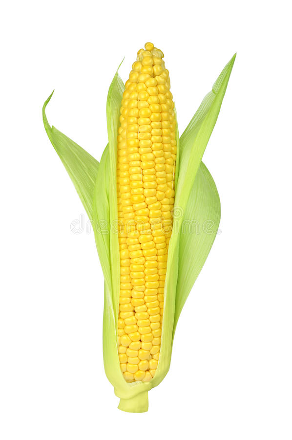Download Ear of Corn stock photo. Image of object, healthy, organic - 26115466