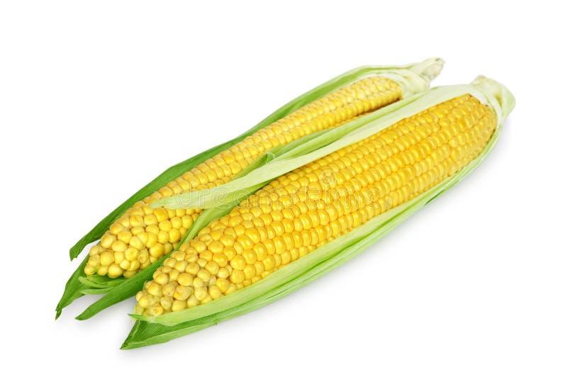 Download Ear of corn stock image. Image of golden, food, vegetable - 26115469