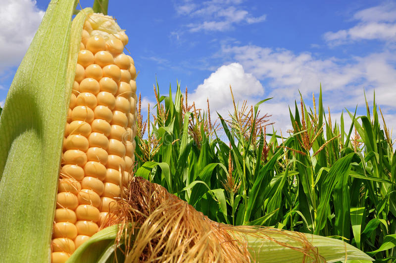 Download Ear Of Corn Against A Field Under Clouds Stock Image - Image of corncob, landscape: 26539525