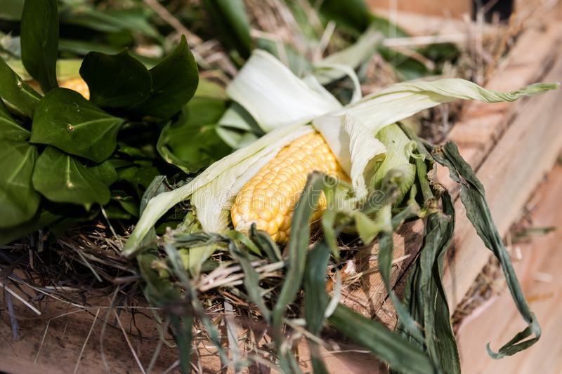 Ear of corn in a box with leaves and straw. royalty free stock photography