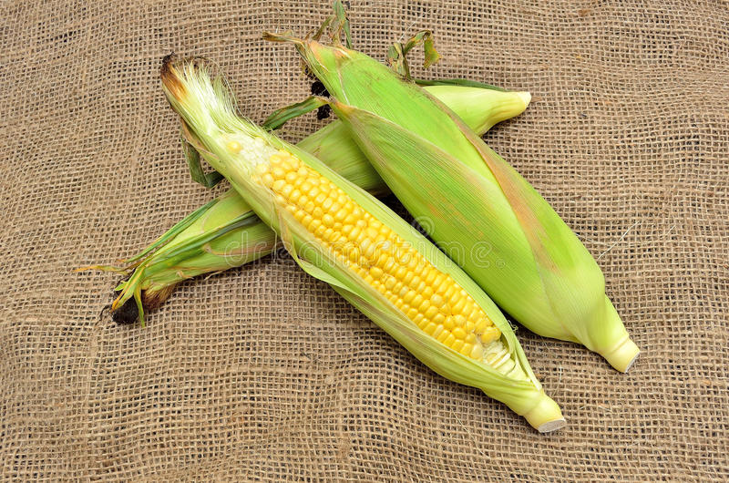 An ear of corn. On gunny royalty free stock photo