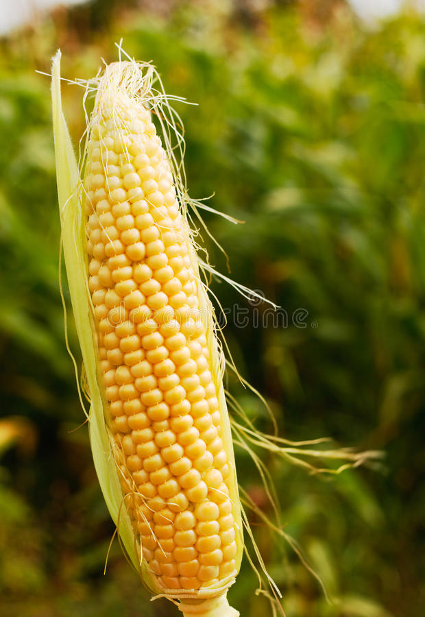 Ear of corn popular farm animal feed. Ear of maize or corn a popular farm animal feed or forage now often genetically modified for increased yield royalty free stock image