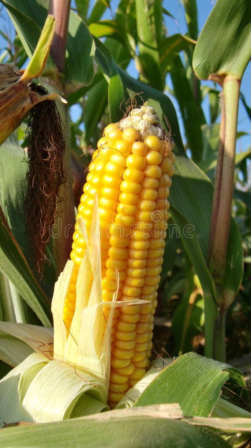 Download Ear of corn on stalk stock image. Image of corn, growth - 11026755