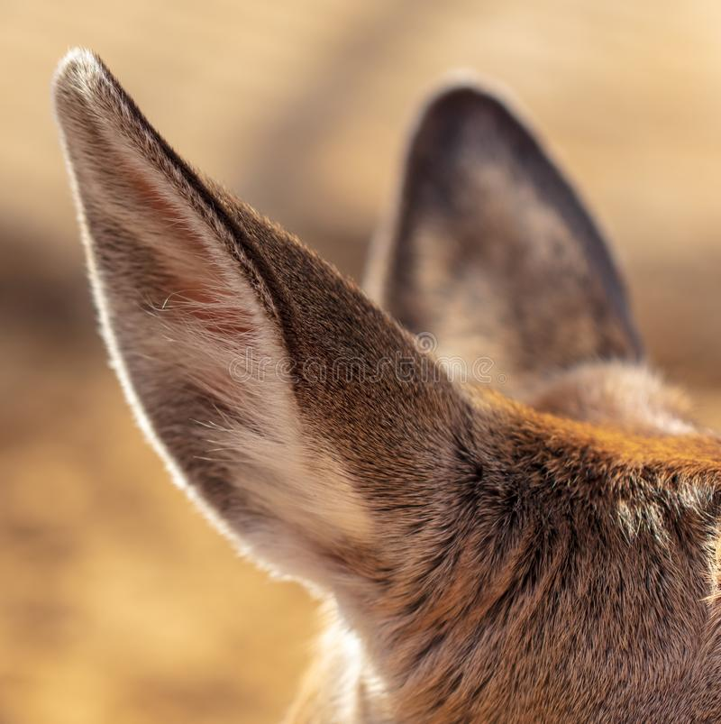 Ear of a deer in the park royalty free stock image