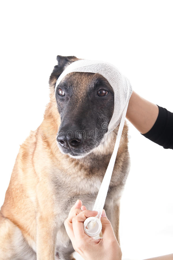 Ear or head bandage. Picture of a ear or head bandage on a dog royalty free stock photo
