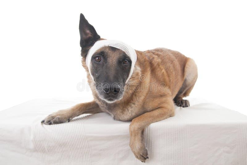 Ear or head bandage stock image