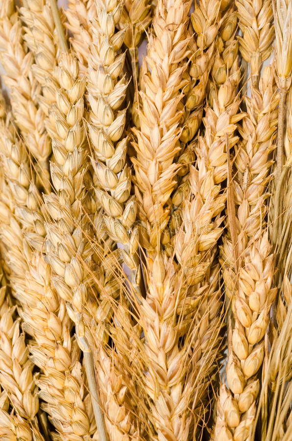 Free Ear Of Wheat Stock Images - 25857474