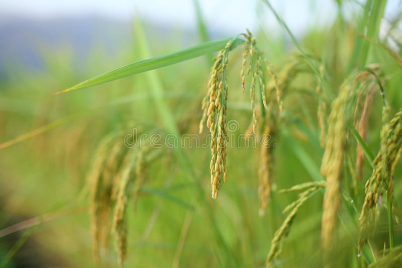Download Ear of rice stock photo. Image of cultivation, food, harvest - 27475924